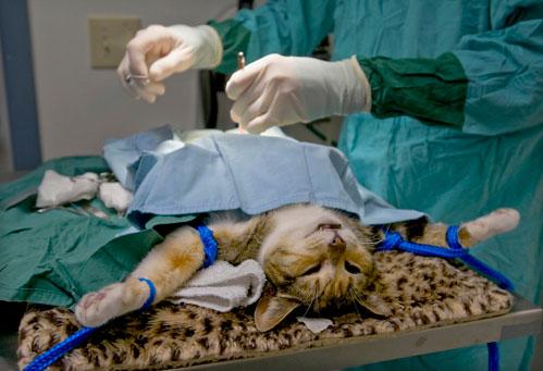 Цены на стерилизацию кошек в спб