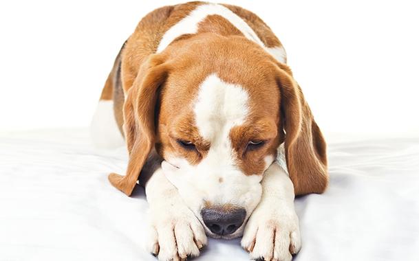 Рвота у собак - почему и какая она бывает, и симптомами каких заболеваний является в Спб spb.vetpomosch.ru Санкт-Петербург